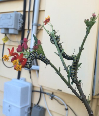 Monarch caterpillars feast on tropical milkweed outside a New Orleans residence.