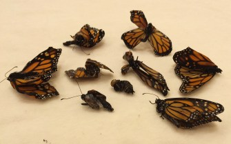 The author has spotted deformed monarchs as far north as the Canadian border.