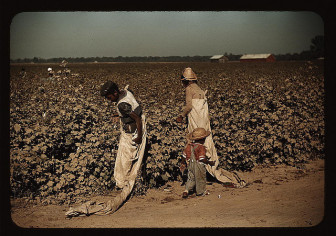 The good ol' days? Cotton pickers work a Mississippi delta farm in the 1930s.