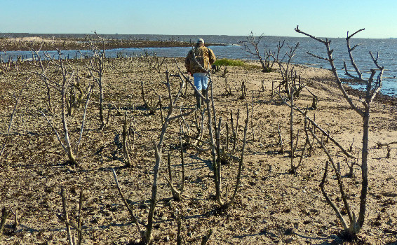The mangrove bushes that for decades served as nest sites for brown pelicans and other birds were killed by oil from the Deepwater Horizon. Once the bushes were gone, the islands began rapidly washing away.