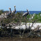 The one island still large and high enough to hold mangroves is still used by several hundred pelicans, roseate spoonbills, herons and other birds. But as this image shows, some of the mangroves are still dying from the oil. Before the spill, officials estimated about 10,000 pelicans and other birds used the barrier islands.