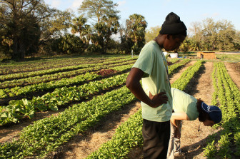 Grow Dat Youth Farm works two acres in City Park and harvests 20,000 pounds of fresh food.