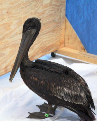 Blackened with oil from the BP spill, a brown pelican awaits resuscitation at an Alabama rehab center.