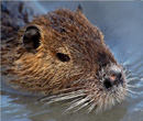 Yes, nutria feed on wetlands vegetation. Do they dredge canals and drill for oil? Not so much.