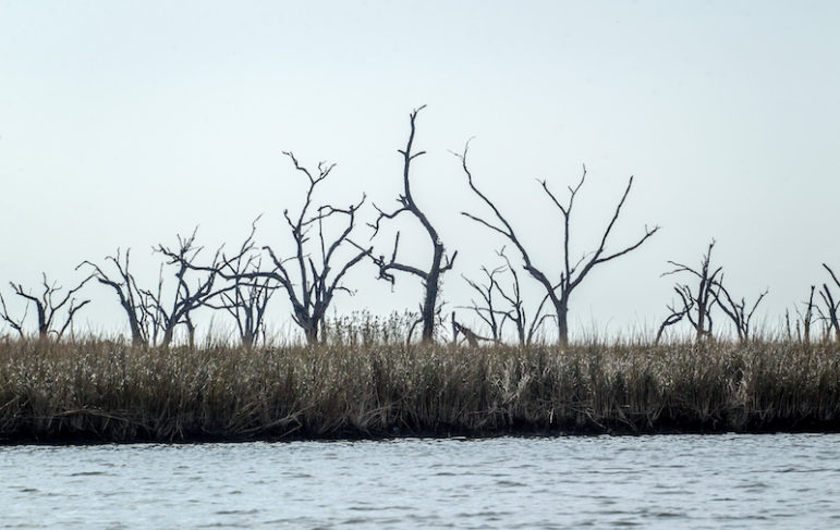 Dead and dying trees stand in the marsh near Grand Bayou.